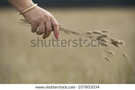 An elderly ladys hand in a wheat field holding a bunch of wheat