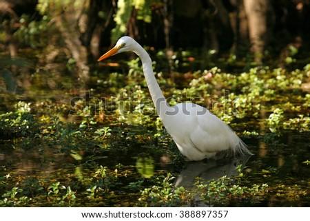 An elegant Great Egret wades through the Florida Everglades at dusk #388897357