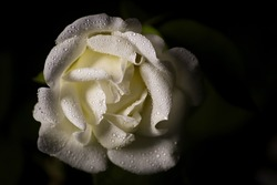 An elegant rose with waterdrops in the dark