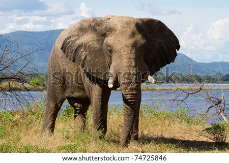 An elephant bull next to the Zambezi River, Mana Pools