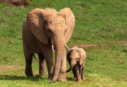 An elephant calf chases his mother one autumn morning in the Cabarceno Nature Park in Cantabría, Spain