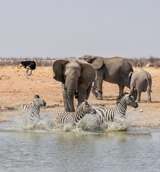 An Elephant chasing Zebra at a watering hole in the Namibian savanna