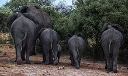 An elephant herd walks away