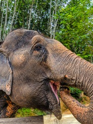 An elephant in treatment center in Phuket, Thailand is eating banana tree leafs.