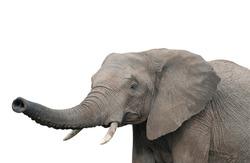 An elephant, isolated on white background