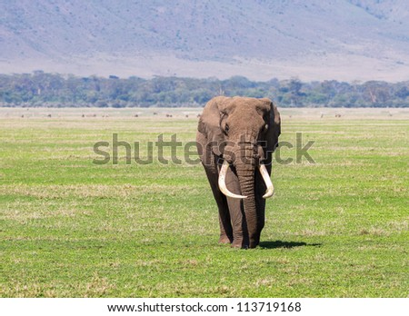An elephant male in Crater Ngorongoro National Park - Tanzania