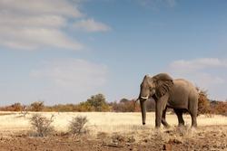 An elephant on a grassy plain in Botswana.