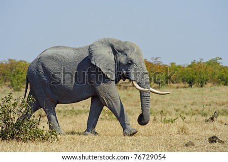 An Elephant on his way to have a drink