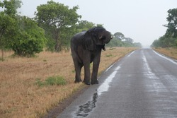 an elephant standing on the road and drinking water out of the puddle in botswana