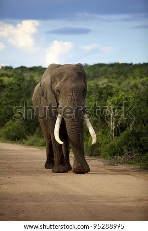 An Elephant walking towards the camera, Addo Elephant National Park