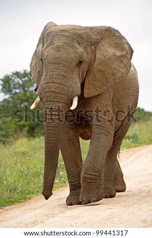 An elephant walks down the road