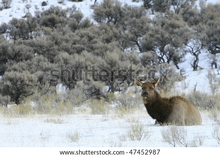 An elk rests in the snow in Yellowstone National Park.