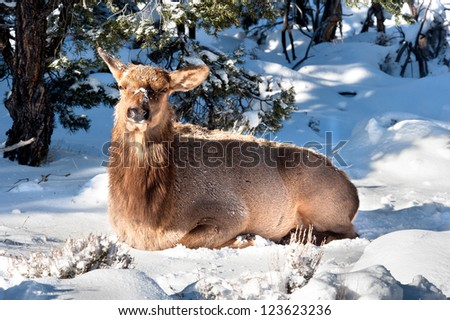 An elk sits in the snow to rest in between feeding cycles.  Image shot at the Grand Canyon national park in Arizona.