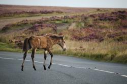 An emaciated and thin Exmoor pony, Exmoor, UK.