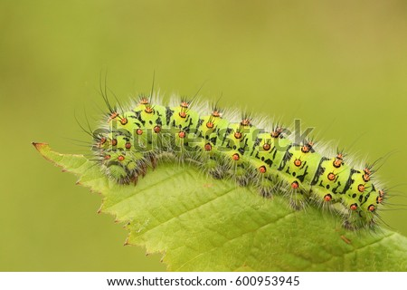An Emperor moth Caterpillar (Saturnia pavonia) feeding on a bramble leaf.