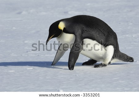 An emperor penguin seems to do some fitness excercise. Picture was taken near the tip of the Peninsula during a 3-month Antarctic research expedition.