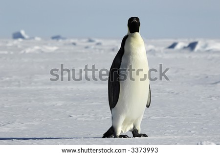 An emperor penguin standing in front of a beautiful Antarctic ice scenery. Picture was taken in the Atka Bay during a 3-month Antarctic research expedition.