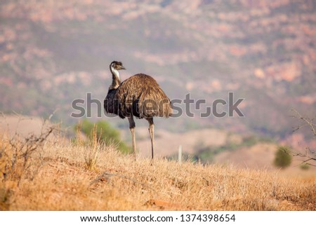 An emu stands along with the Flinders Ranges as it's backdrop. Flinders Ranges National Park, South Australia, Australia. #1374398654