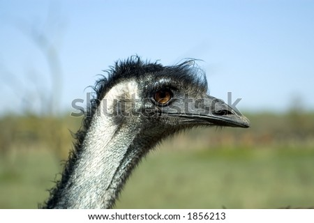 stock photo : An Emu with a slick hairstyle.