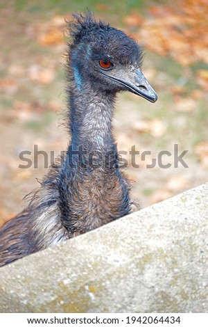 An emu with its orange-red eyes, light blue neck and scraggly feathers looks over a wall. Stock foto ©
