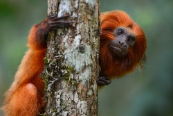An endangered Golden lion tamarin (Leontopithecus rosalia) perched on a tree in one of the few remaining patches of Atlantic rainforest where they survive, Silva Jardim, Rio de Janeiro state, Brazil