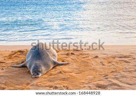 An endangered Hawaiian Monk Seal rests on Poipu beach at sunset in Kauai, Hawaii