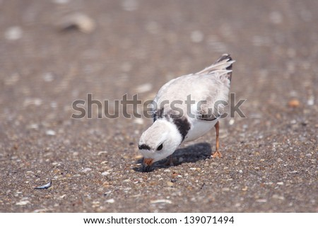 An endangered piping plover searches for food in Sandy Hook, New Jersey.