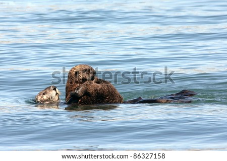 An Endangered Sea Otter (Enhydra lutris nereis) and Her Baby Play in the Waters of California