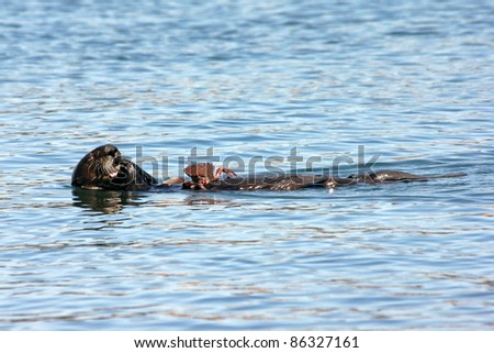 An Endangered Sea Otter (Enhydra lutris nereis) Eats a Crab in the Waters of California