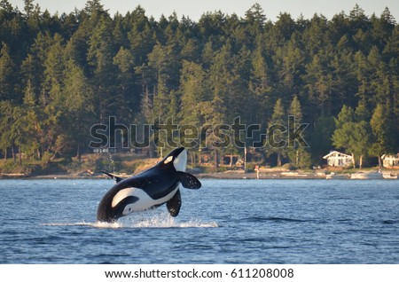 An endangered Southern Resident Killer Whale, an icon of the Pacific Northwest, breaches near Henry Island in Washington State. #611208008