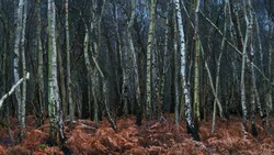 An endless sea of silver birch trees in an autumn forest.