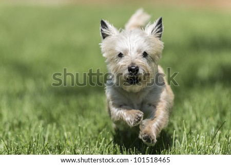 An energetic dog running towards the camera in beautiful grass
