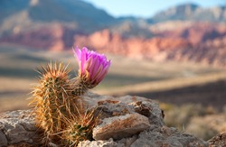 An Englemann Hedgehog cactus in bloom in Red Rock Canyon, Nevada.
