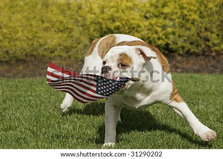 An English Bulldog puppy waves the American flag