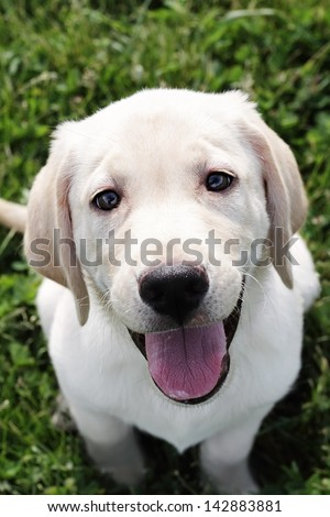 An English Cream Labrador Retriever - Golden Retriever mixed designer breed 12 week old puppy,  sitting outdoors and looking into the camera. Extreme shallow depth of field.