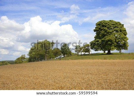 an english landscape with wheat field and hillside trees