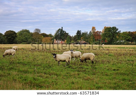 An English Rural Landscape in Autumn with grazing sheep in a Meadow