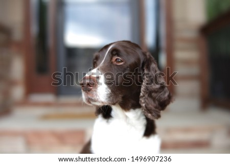 An English Springer Spaniel enjoying the finer things in life. A model, really.  #1496907236