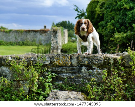 An English Springer Spaniel looks intently at the camera whilst standing proudly on an old stone wall, with stone ruins and trees in the blurred background. #1477545095