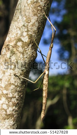 An enormous stick insect climbing the trunk of a tree #51427828