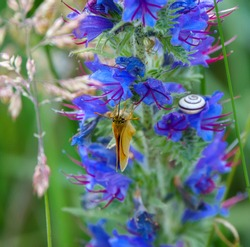 an essex skipper butterfly (Thymelicus lineola) feeding on the flowers of a beautiful viper's-bugloss (Echium vulgare)