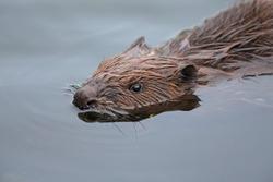 An Eurasian beaver swimming in a pond