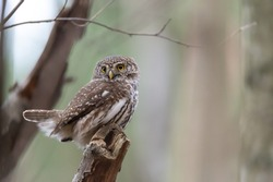 An Eurasian pygmy owl sits on a branch in Sweden. The Eurasian pygmy owl (Glaucidium passerinum) is the smallest owl in Europe. Blurred background, copy space with place for text.