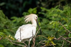 An eurasian spoonbill sitting near on its nest inside Ranganathittu Bird sanctuary in the outskirts of Mysore during a boat ride