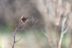 An eurasian wren (Troglodytes troglodytes) a very small bird, sits on a branch in spring time. Blurred background, with copy space and place for text.