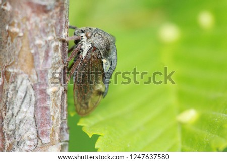 An excellent macro shot of a cicada on a tree trunk. Unusual insect on a green background. Summer positive vivid picture