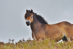 An Exmoor pony on farmland.