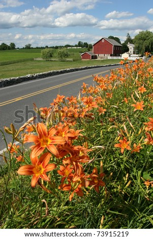 An expanse of orange tiger lilies growing beside the road in rural Pennsylvannia
