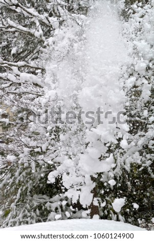 An explosion of snow cascades off the tangled branches of a denuded dogwood tree in winter #1060124900