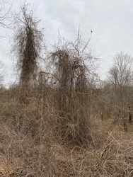 An extensive network of vines of invasive plants cover  the landscape and trees near the floodplain of Buffalo creek by the Sarah-Terry Walking trail in Farmville, Virginia, USA. February 4, 2021.